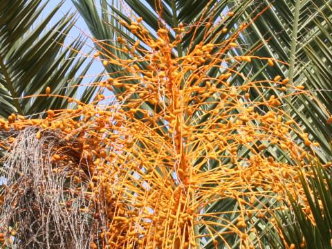 カナリー椰子