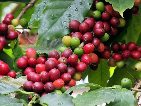 赤色に熟したコーヒーチェリー