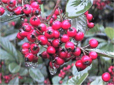 Cotoneasterはどんな植物?Weblio辞書