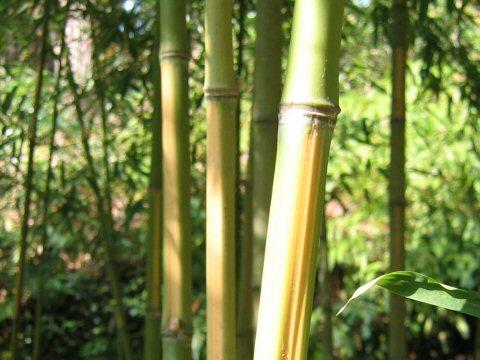 Phyllostachys aurea f. flavescens-inversa