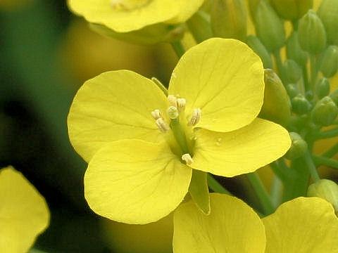 Brassica campestris var. glabra