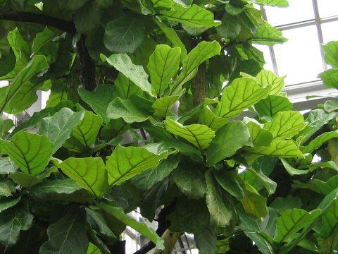 柏葉ゴムの木