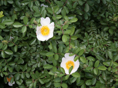 カカヤン薔薇