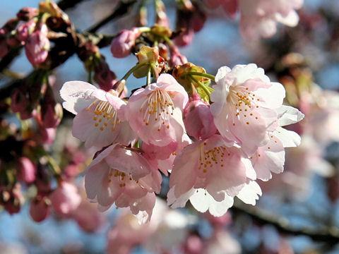 寒桜(カンザクラ)はどんな桜?Weblio辞書
