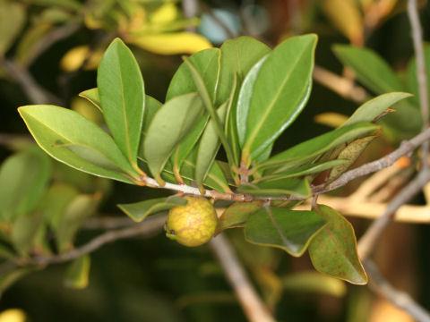 黄実の蕃石榴