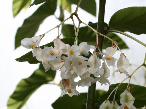 木立ベゴニア