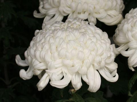 Chrysanthemum grandiflorum