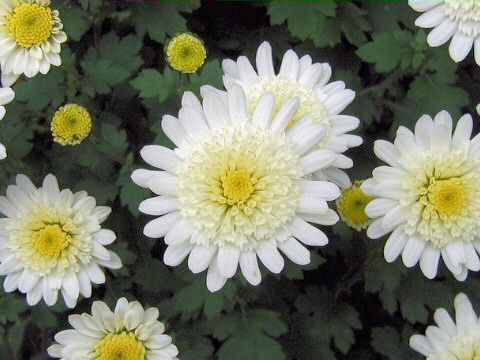 Chrysanthemum grandiflorum