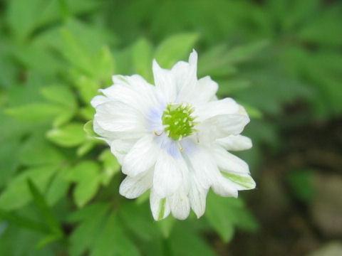 菊咲き一華