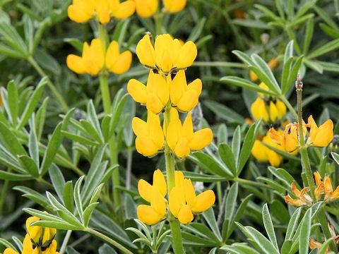 黄花ルピナス