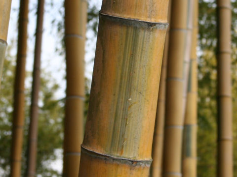 Phyllostachys pubescens f. bicolor