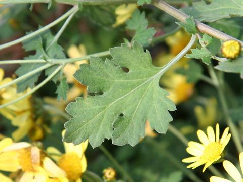 黄花野路菊