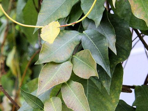 小葉の鴎蔓