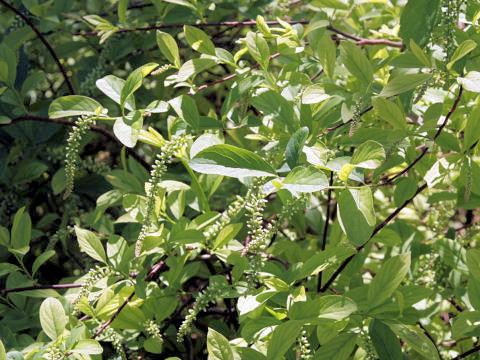 小葉の髄菜