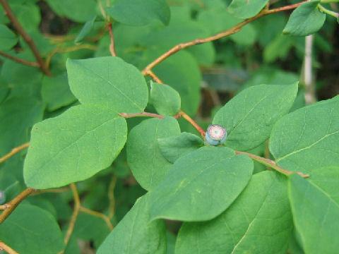 Vaccinium ovalifolium