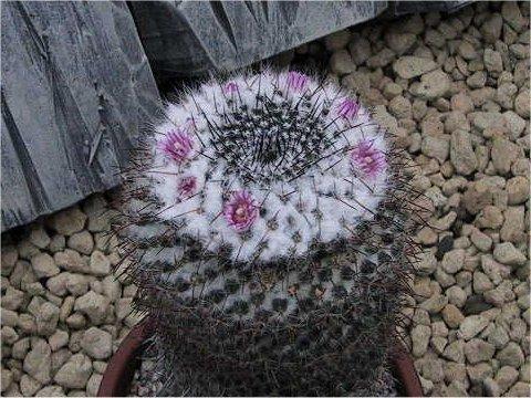 old lady cactusはどんな植物?Weblio辞書