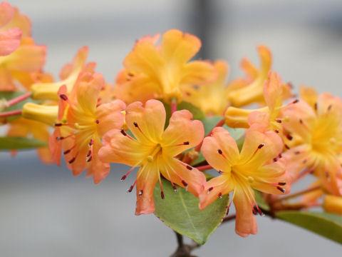 マレーシア石楠花