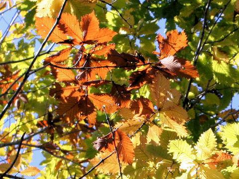 Quercus cuspidata