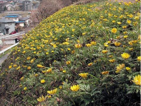 陸奥福寿草