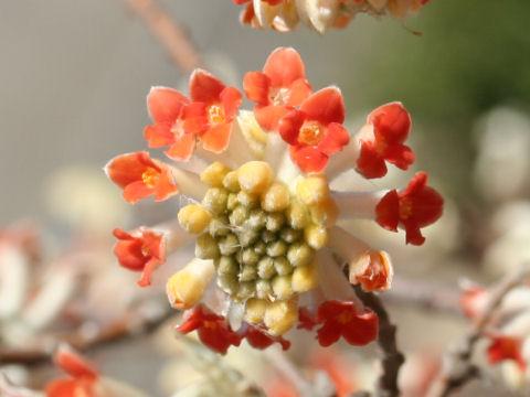 Edgeworthia chrysantha cv. Rubra