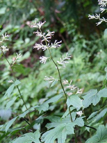 Cacalia delphiniifolia