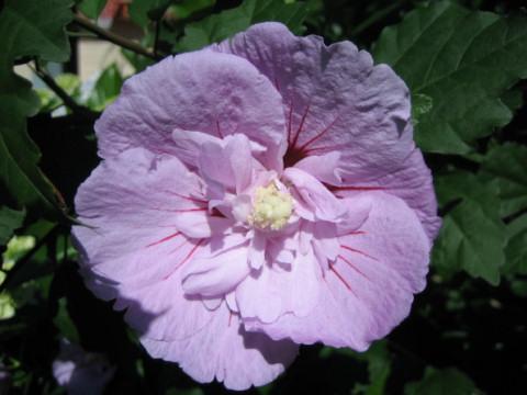 Hibiscus syriacus cv. Lavender Chiffon