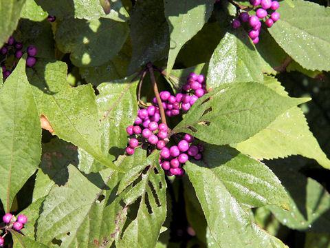 植物 紫式部 白