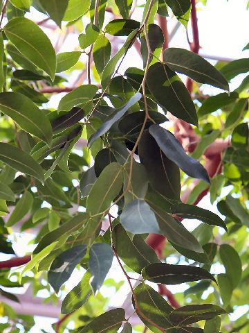 ナムナムの木