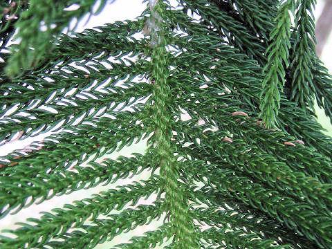 南洋杉(なんようすぎ)はどんな植...