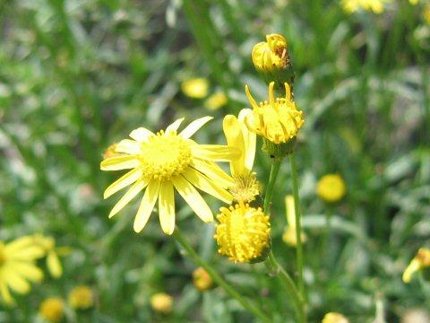 fireweedとは - 植物図鑑 Weblio...