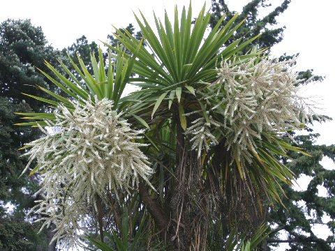 匂い棕櫚蘭