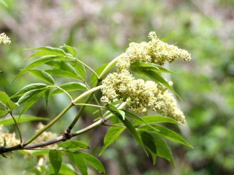Sambucus racemosa ssp. sieboldiana