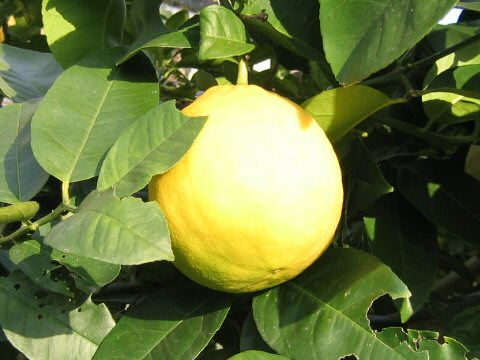 レモン・ポンデローザ