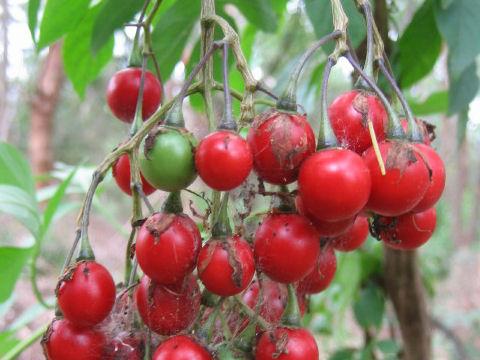 瑠璃色蔓茄子