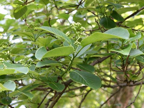 琉球苣の木