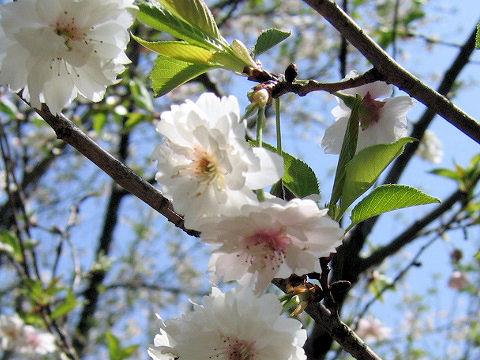 Prunus x subhirtella cv. Autumnalis