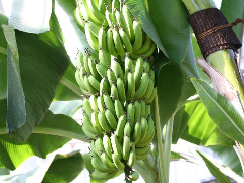 三角バナナ