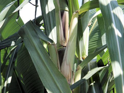 砂糖黍(サトウキビ)の種類や特徴 Weblio辞書