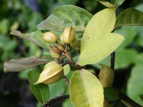 先島蘇芳の木