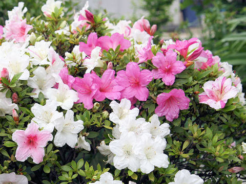 夏の花サツキ