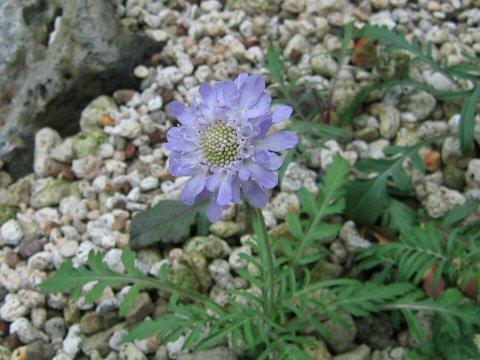 Scabiosa columbaria cv. Nana