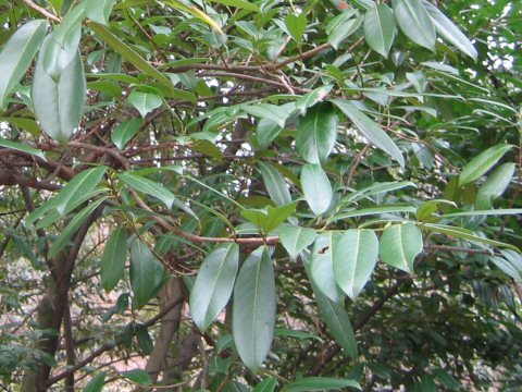 西洋博打の木