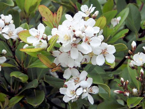 Raphiolepis indica var. umbellata