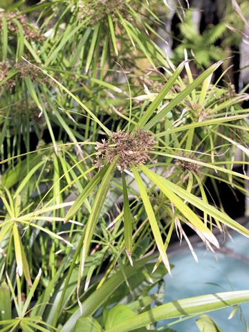 棕櫚蚊帳釣