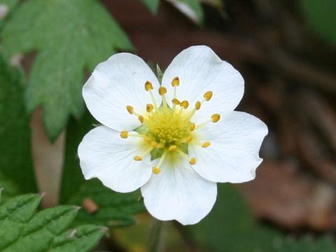 白花の蛇苺