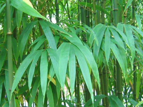 Tetragonocalamus quadrangularis