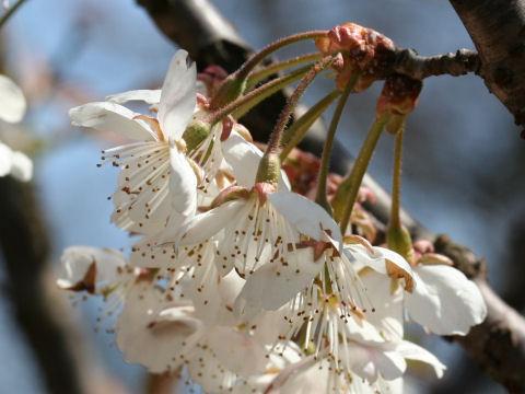 支那の実桜