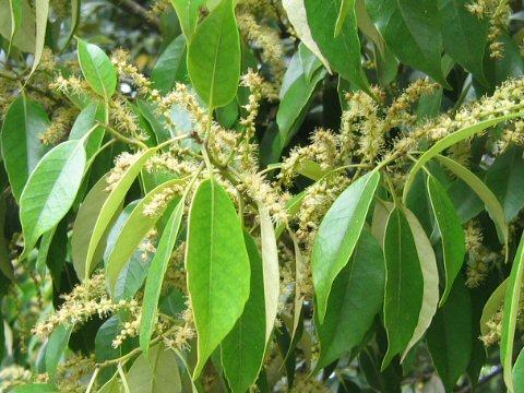 Castanopsis sieboldii