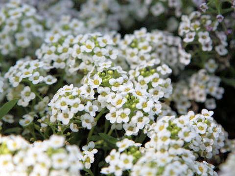 スイートアリッサムはどんな植物?Weblio辞書