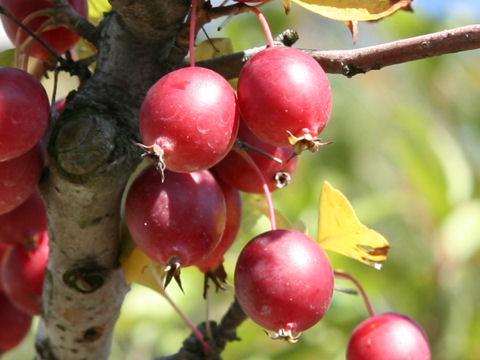 雑種小林檎